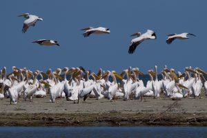 Pelikan. © Fotograf Einar Hugnes.