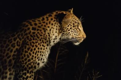 104_Jaktende leopard