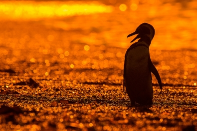 50_Penguin_Sunset