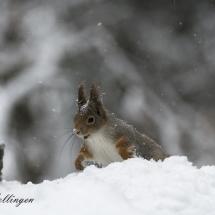 Ekornet leker i snøen og jeg synes den ser glad ut.