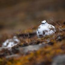 Svalbardrype 2