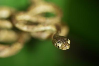 107_Beate Strom Johansen_sorlandet_Blunt Headed Snake