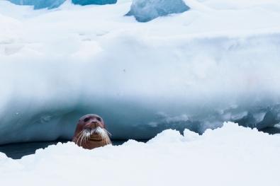Ann-J-Nordvaalen_indre-ostland_Svalbard-sel