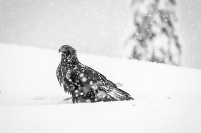 Merja Olsson_Hordaland_Golden eagle