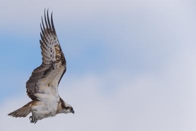 41_tom_thodesen_ostlandet_osprey
