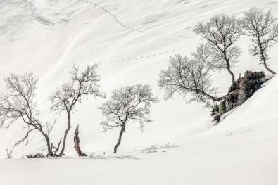 Arne-Bergo_Hordaland_Mountain-Birch-no8-in-snow