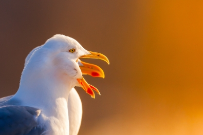 tommy andreassen_nordland_seagull in sunset