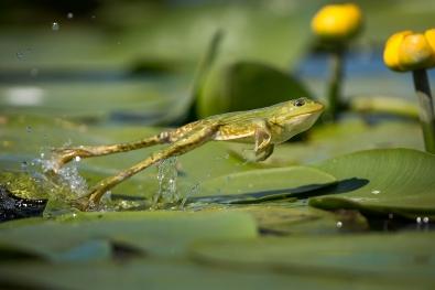 49_Hoppende frosk