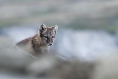 84_Arctic_fox