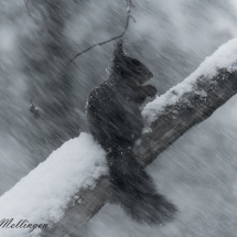 Ekorn i snøvær