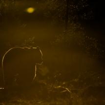 41_Tom Thodesen_ostlandet_golden bear
