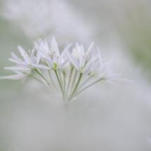Ramsløk Allium ursinum