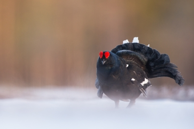 41_tom_thodesen_ostlandet_black_grouse