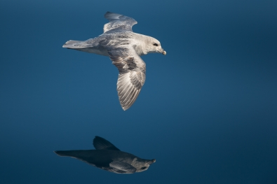 41_tom_thodesen_ostlandet_northern_fulmar