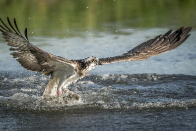 47_Bjorn Olsson_hordaland_osprey-3