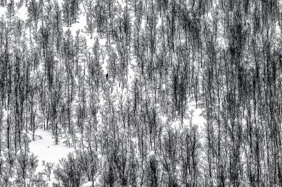 Trond-Ostvang_troms_i-fjellbjorkeskogen-