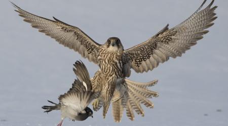 Jaktfalk løfter due. Foto: Stig Frode Olsen