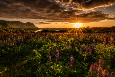 Sylwia-Grabinska_MidtNorge_Lupiner-i-solnedgang-Lyngstad